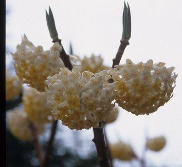 Edgeworthia chrysantha 'Snow Cream' 3 flower