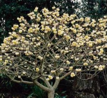 Edgeworthia chrysantha 'Snow Cream' 4 form