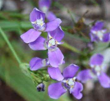 Ennealophus fimbriatus 1 flower