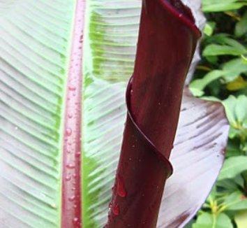 Ensete ventricosum 'Maurelii' 17