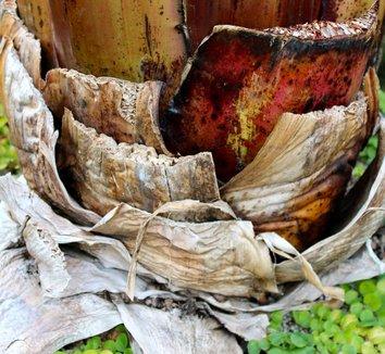 Ensete ventricosum 'Maurelii' 26 pseudotrunk
