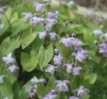 Epimedium x youngianum 'Grape Fizz' 1 flower