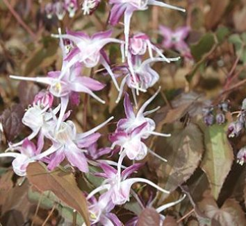 Epimedium grandiflorum 'Dark Beauty' 1 flower