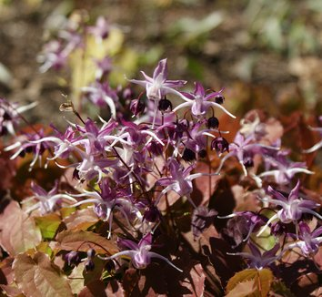 Epimedium grandiflorum 'Dark Beauty' 8 flower