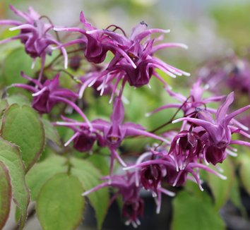 Epimedium grandiflorum 'Purple Prince' 8 flower