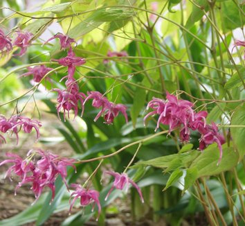 Epimedium grandiflorum 'Red Queen' 1 flower