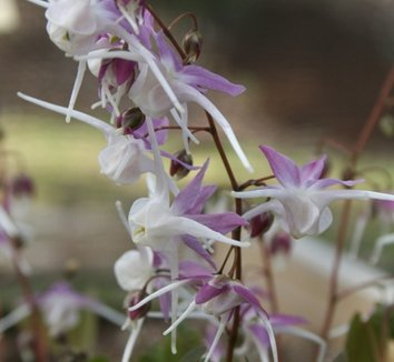 Epimedium grandiflorum 'Tama-no-genpei' 1 flower