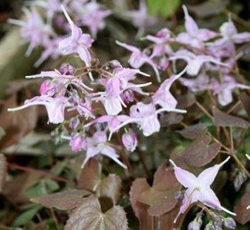Epimedium grandiflorum fo. violaceum 'Bronze Maiden' 1 flower