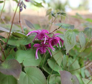 Epimedium grandiflorum 'Yubae' 8 flower