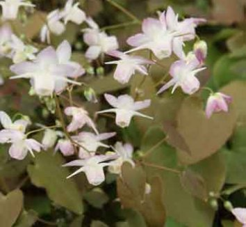 Epimedium x youngianum 'Fairy Dust' 1 flower