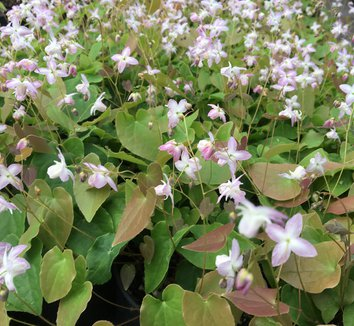 Epimedium x youngianum 'Fairy Dust' 4 flower