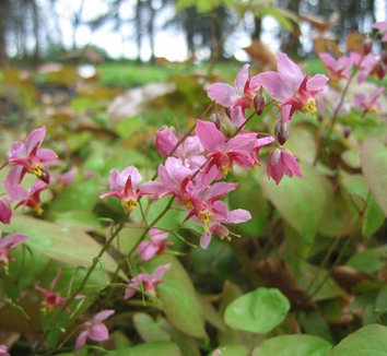 Epimedium x versicolor 'Cherry Tart' 1 flower