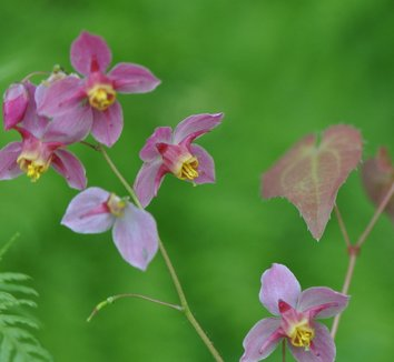 Epimedium x versicolor 'Cherry Tart' 9 flower