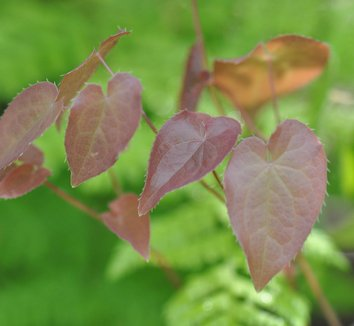 Epimedium x versicolor 'Cherry Tart' 8 flower