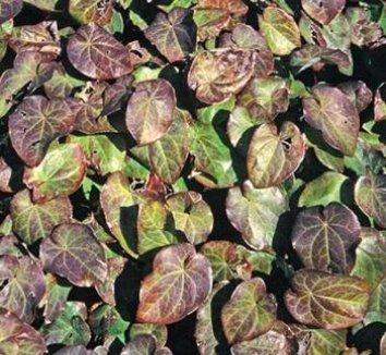 Epimedium pinnatum ssp. colchicum 'Thunderbolt' 1