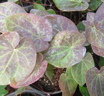 Epimedium pinnatum ssp. colchicum 'Thunderbolt' 8