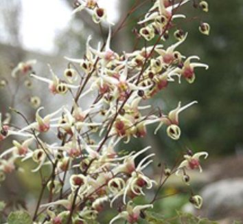 Epimedium 'Domino' 2 flower