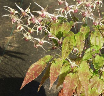 Epimedium 'Domino' 1 flower