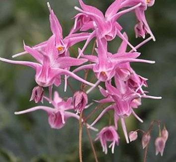 Epimedium x 'Flamenco Dancer' 7 flower
