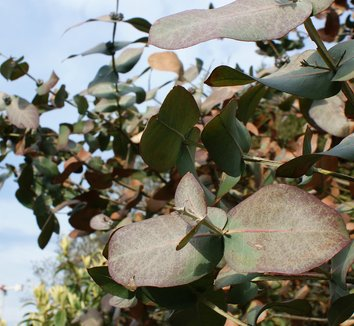 Eucalyptus neglecta 9