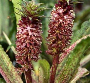 Eucomis vandermerwei 'Octopus' 1 flower, form