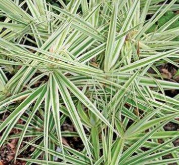 Carex phyllocephala 'Sparkler' 5