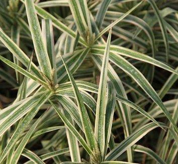 Carex phyllocephala 'Sparkler' 8