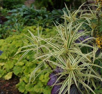 Carex phyllocephala 'Sparkler' 11