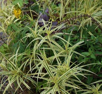 Carex phyllocephala 'Sparkler' 9