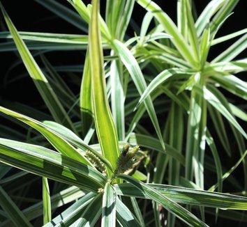 Carex phyllocephala 'Sparkler' 12