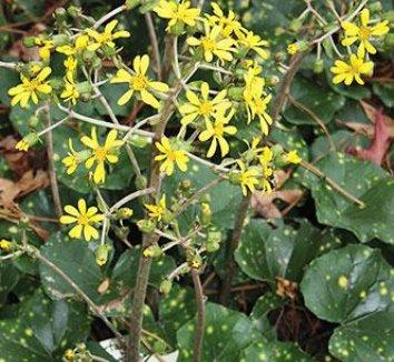 Farfugium japonicum 'Aureomaculatum' 5 flower, form