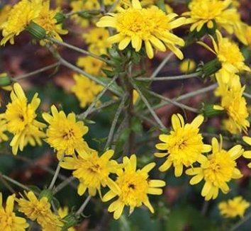 Farfugium japonicum 'Yaezaki' 1 flower