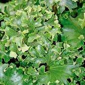 Farfugium japonicum 'Shishi Botan'