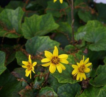 Farfugium 'Last Dance' 4 flower