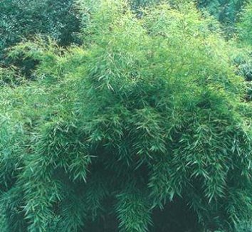 Fargesia robusta 'Ping Wu' 1 form