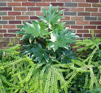 Fatsia japonica 'Variegata' 2