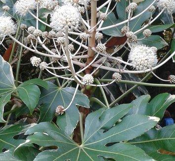 Fatsia japonica 'Variegata' 10