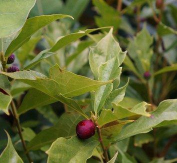 Ficus gasparriniana var. laceratifolia 4