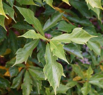 Ficus gasparriniana var. laceratifolia 5