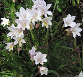 Freesia alba 1 flower