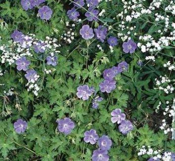 Geranium 'Rozanne' PP12175 2 flower, form