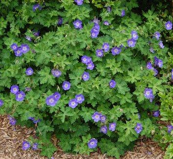Geranium 'Rozanne' PP12175 1 flower