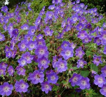 Geranium 'Rozanne' PP12175 7 flower