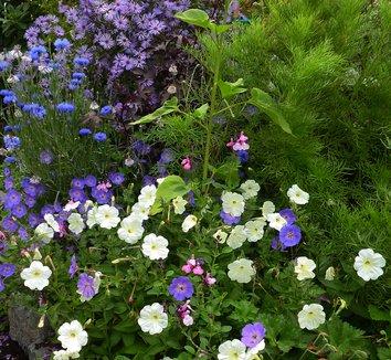 Geranium 'Rozanne' PP12175 10 flower