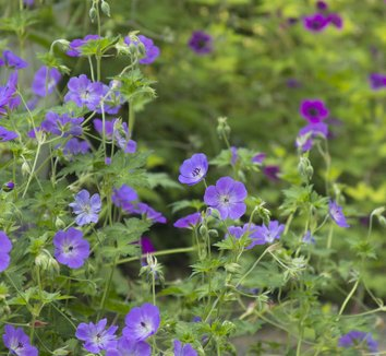 Geranium 'Rozanne' PP12175 12 flower, form