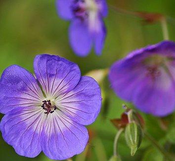 Geranium 'Rozanne' PP12175 14 flower