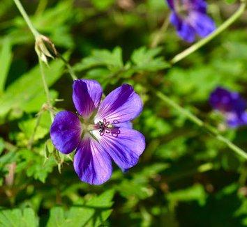 Geranium 'Rozanne' PP12175 15 flower