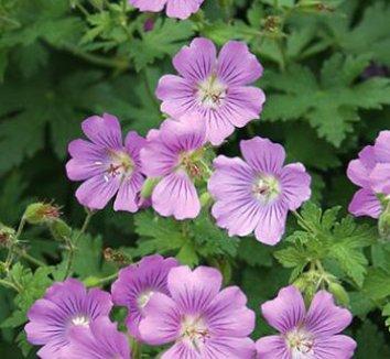 Geranium 'Sirak' 1 flower