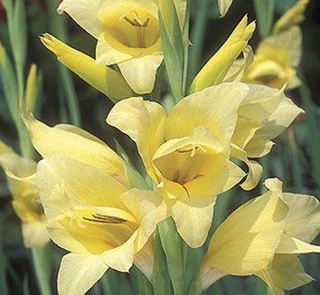 Gladiolus 'Carolina Primrose' 5 flower