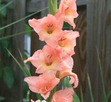 Gladiolus 'Old Fort' 1 flower